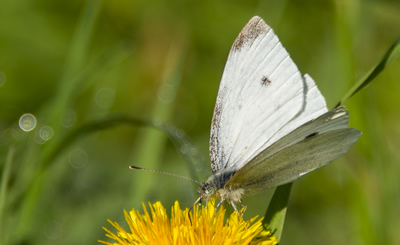 Common Small White butterfly