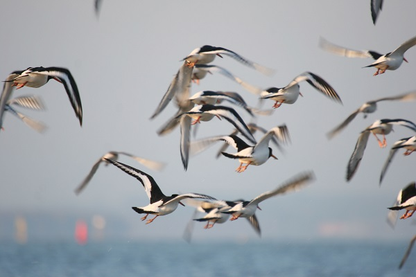 Oystercatchers flying - photo by Steve Trewella